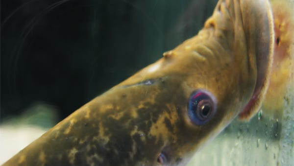 A lamprey in a tank at the ECHO science center in Burlington.