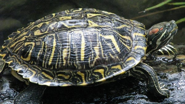 The most diagnostic characteristic used in identifying this species is the broad red stripe that runs diagonally from the corner of the eye to the back of the head.