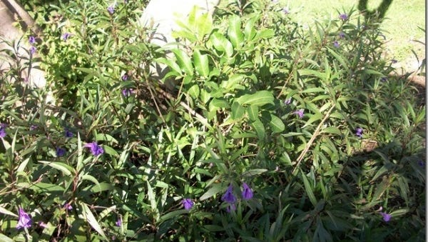Both the carrotwood tree seedling and Mexican Petunia pictured are invasive plants and can take over an urban landscape or native habitat.