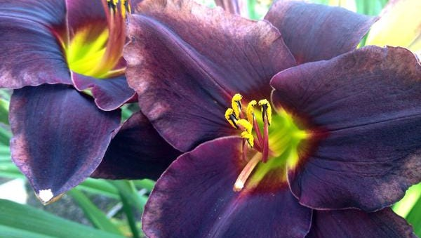 One of the hottest introductions from Solaris Farms, Reedsville for 2014 is this deep, dark beauty called Laird Liam.