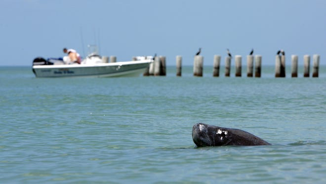 A manatee swims along the beach in Naples in a group of eight, passing the pilings at Third Avenue South.