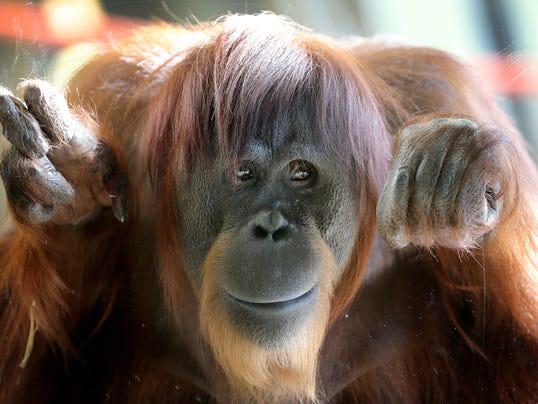 Orangutan_Exhibit_ININS503_WEB792202