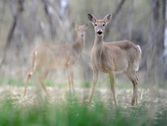 A pair of deer gaze at the photographer just off of