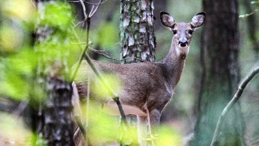 A female deer looks through the woods in 2014 near a road in Sadlers Creek State Park in Anderson.
