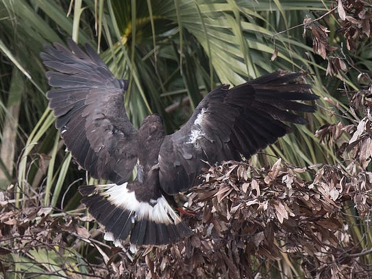 A just released endangered snail kite lands in foliage
