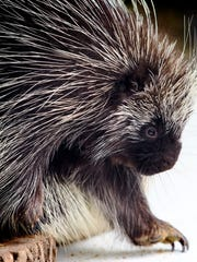 Juniper, a North American porcupine, wanders around a table after being in an animal demonstration on Earth Day, Saturday at Brandywine Zoo.