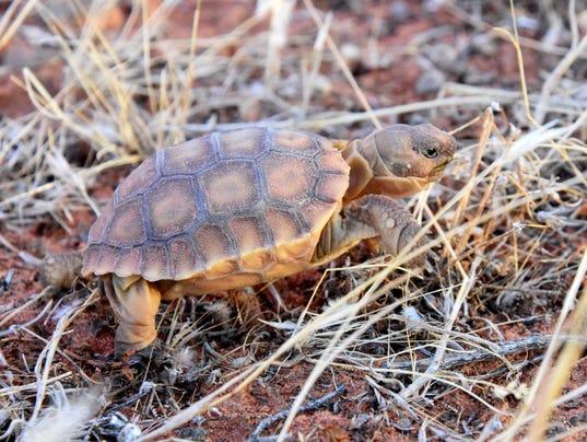 636099064528979378-Desert-Tortoise-Hatchling-released-Red-Cliffs-Reserve.jpg