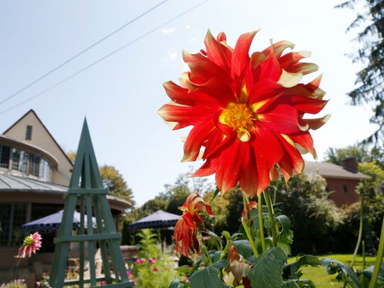 A dahlia in the cutting garden at the home of John Welch and Joe Menichello, of Binghamton on Monday September 18, 2017.