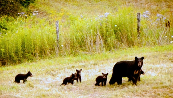 Carey Crooker, of Addison, shot this photo of a mother bear and five cubs in July 2014.