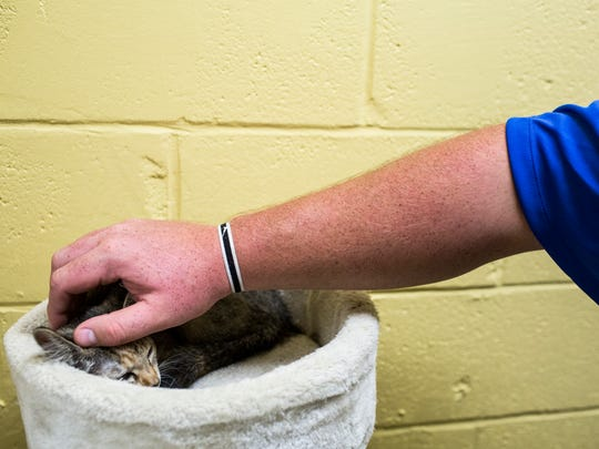 June 23, 2018 - Josh Northcutt, offensive guard, pets a kitten while volunteering during Tiger Takeover at Memphis Animal Services on Saturday. University of Memphis assistant head coach Ryan Silverfield and the Memphis offensive line assisted Memphis Animal Services to help find homes for needy pets during Tiger Takeover.