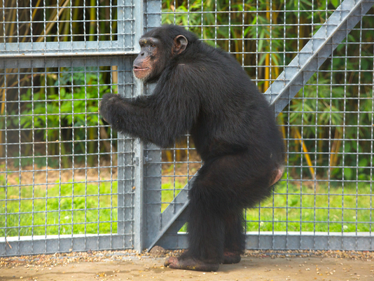 635978719031854799-Retired-chimpanzee-at-NIRC.png
