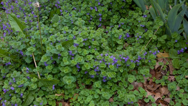 Creeping Charlie, or ground ivy.