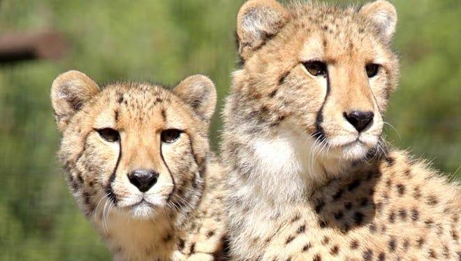 Two cheetahs, Ncuthu and Kererra, now call Wildlife World Zoo home.
