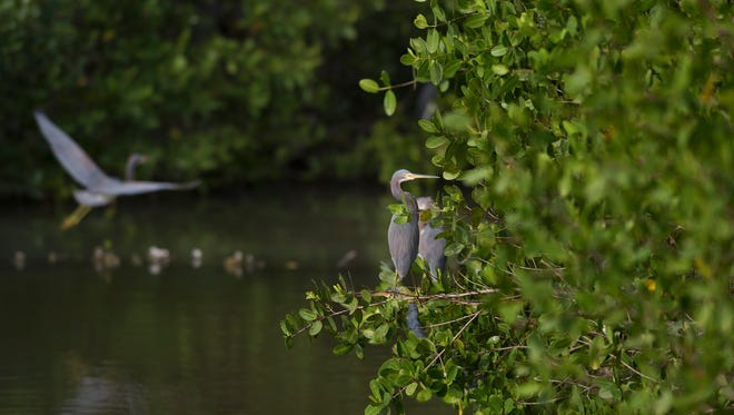 Tricolor herons sit in mangroves lining one of the ponds at the Spoonbill Marsh on Jan. 15, 2015.