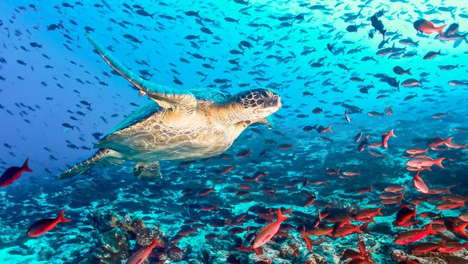 Animal life, both in sea and on land, is abundant on the Galapagos Islands.