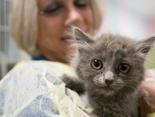 Volunteer Larie Thibeault plays with a kitten at a nursery in the Arizona Humane Society in Phoenix.