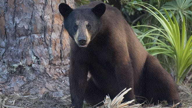 A black bear rests near a pine tree. FWC is considering opening a bear hunt in October. Andrew West/The News-Press