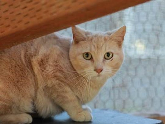 This buff-colored boy is ready to work for you! Contact Feral Cat Awareness Team.