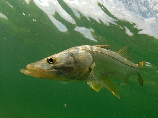 Snook fish swimming in the Atlantic Ocean off the coast