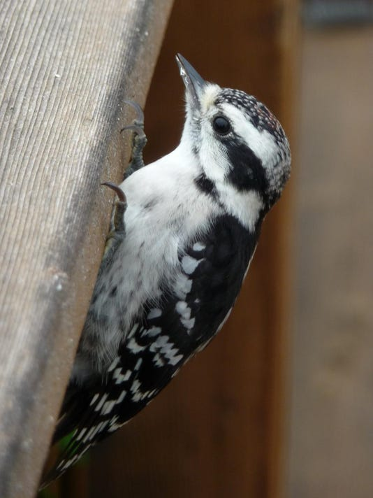 Woodpeckers are one bird that can be successfully attracted to backyard land