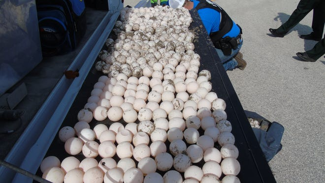 Two arrests were made in what investigators say are thefts of sea turtle eggs.