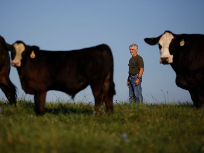 Cattle farmer Rondal Dawson calls out to a herd of his Black Simmental cows at Misty Meadows Farm on Thursday, July 24, 2013 in Shelbyville, Ky. The rising price of beef has raised fears that thieves may begin to target area cattle farmers. (By Luke Sharrett, Special to the C-J)