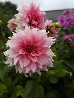 Vivid pink dahlias grow outside the plant nursery at Red Ridge Farms in Dayton, Ore.