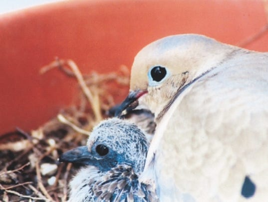 635997702244035991-Mourning-Dove-with-nestling.jpg