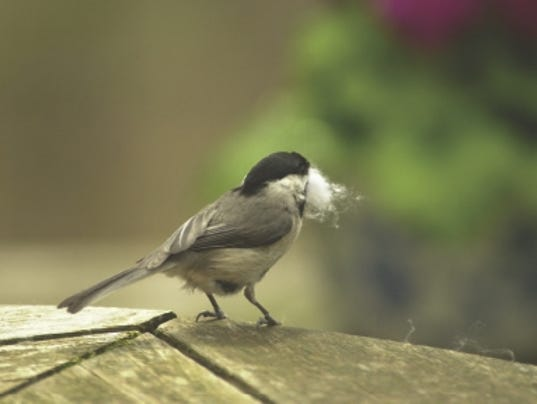 636603397304299606-chickadee-with-nesting-material.jpg