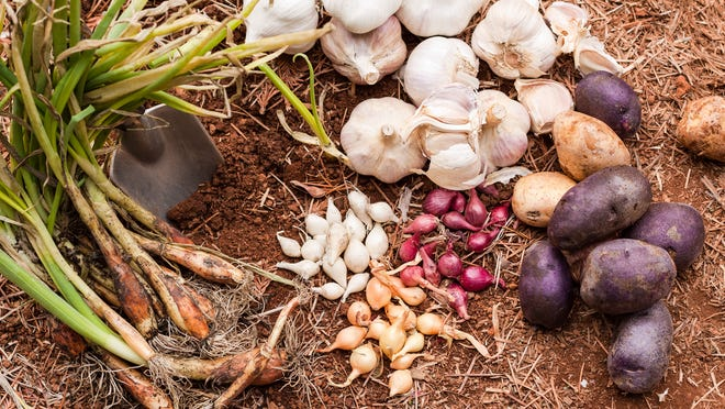 Plant garlic and onions in the fall for a season of fresh flavor in your desert garden.