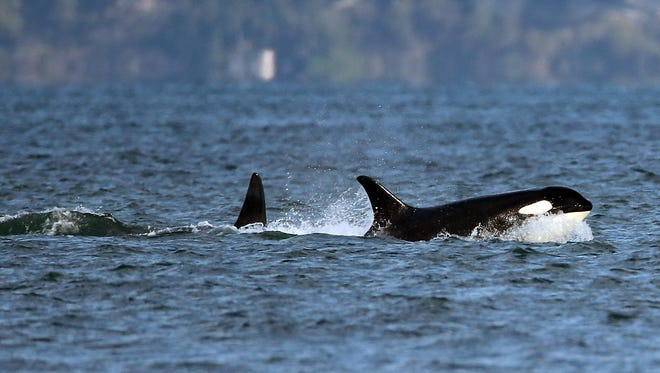 A pod of Southern Resident orcas travels past Point No Point in Hansville.