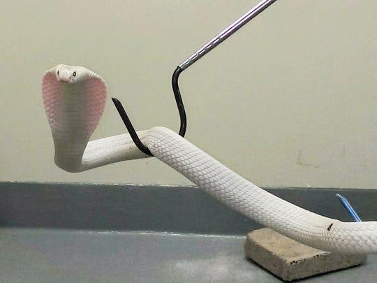 monocled cobra