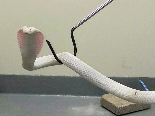 A white monocled cobra, now named Adhira, is held in quarantine in September after being caught by Los Angeles County Animal Control officers in Thousand Oaks, Calif.