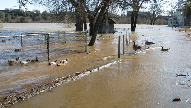 Ducks and geese swim nearly to Park Marina Drive on Saturday as the Sacramento River overflows its banks.