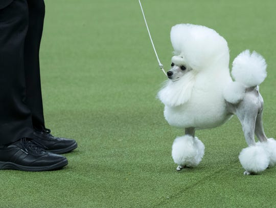 Cami, a toy poodle, competes in the Toy group during