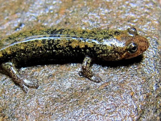 The threatened green salamander is one of the species