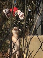 "A cougar at the Jackson Zoo eyes the ""boomer ball"""