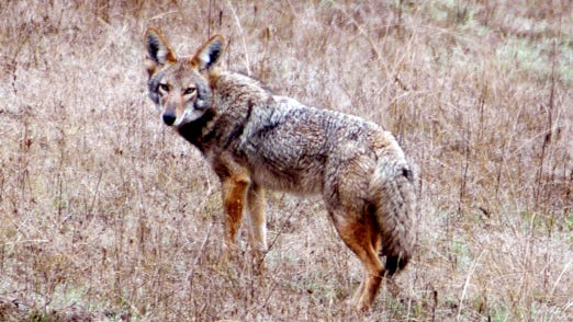 A coyote, ever observant, tries to remember the photographer's name. 'He looks so familiar.'