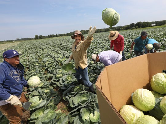 H-2A temporary farm workers harvest fresh market cabbage