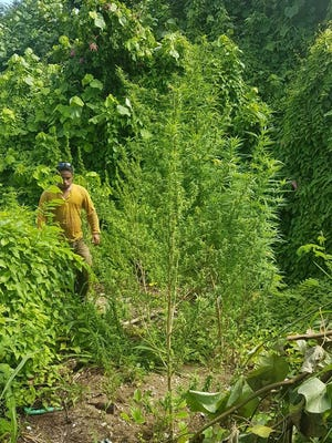 Guam Police Department confiscated 39 marijuana plants in a field located off Inalado Road in Pago Bay on Aug. 9, 2017, spokesman Officer A..J Balajadia said. Officers responded around 3:36 p.m. Wednesday to a field of marijuana trees located off Inalado Road in Pago Bay, he said.