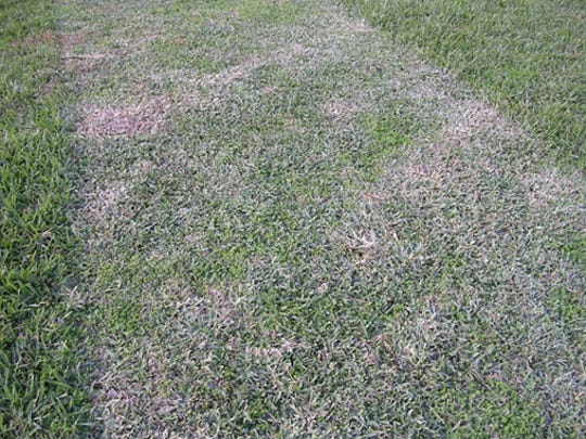 "Damage to lawn caused by ""scalping""."