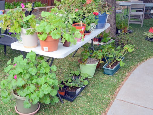Plants ready for a buyer at the Capitan Public Library