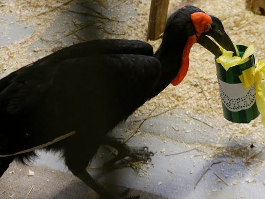 A Southern Ground Hornbill seeks out a mouse in an