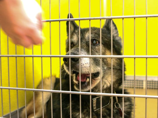 Malachi, a nearly 11-year-old  German shepherd, reacts to visitors at his cage on Thursday, during the holiday promotion at the animal shelter in Anderson.