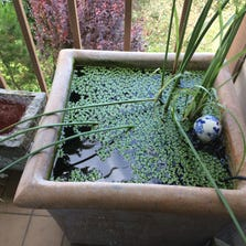 Katherine Roth shows a container pond put together using a planter, floating aquatic plants and a mix of goldfish on a patio in San Francisco on July 18, 2014. The pond contains a bubbler, a filter, and an Asian ceramic ball as a decorative element.