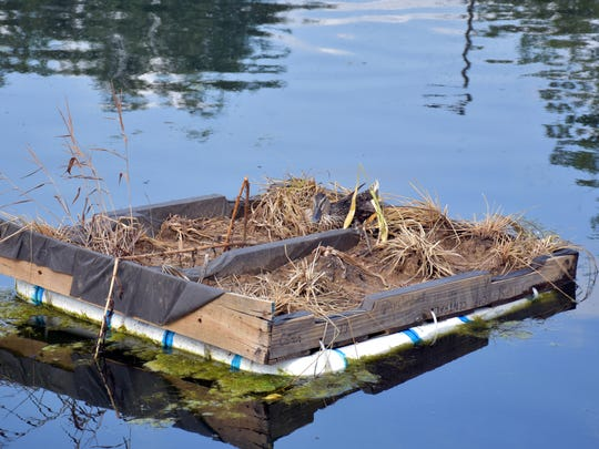 A duck takes up residency in the floating habitat on Fountain City Lake.
