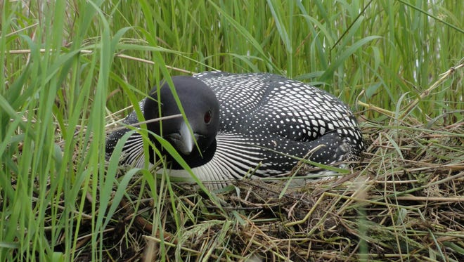 Mother loon on her nest.