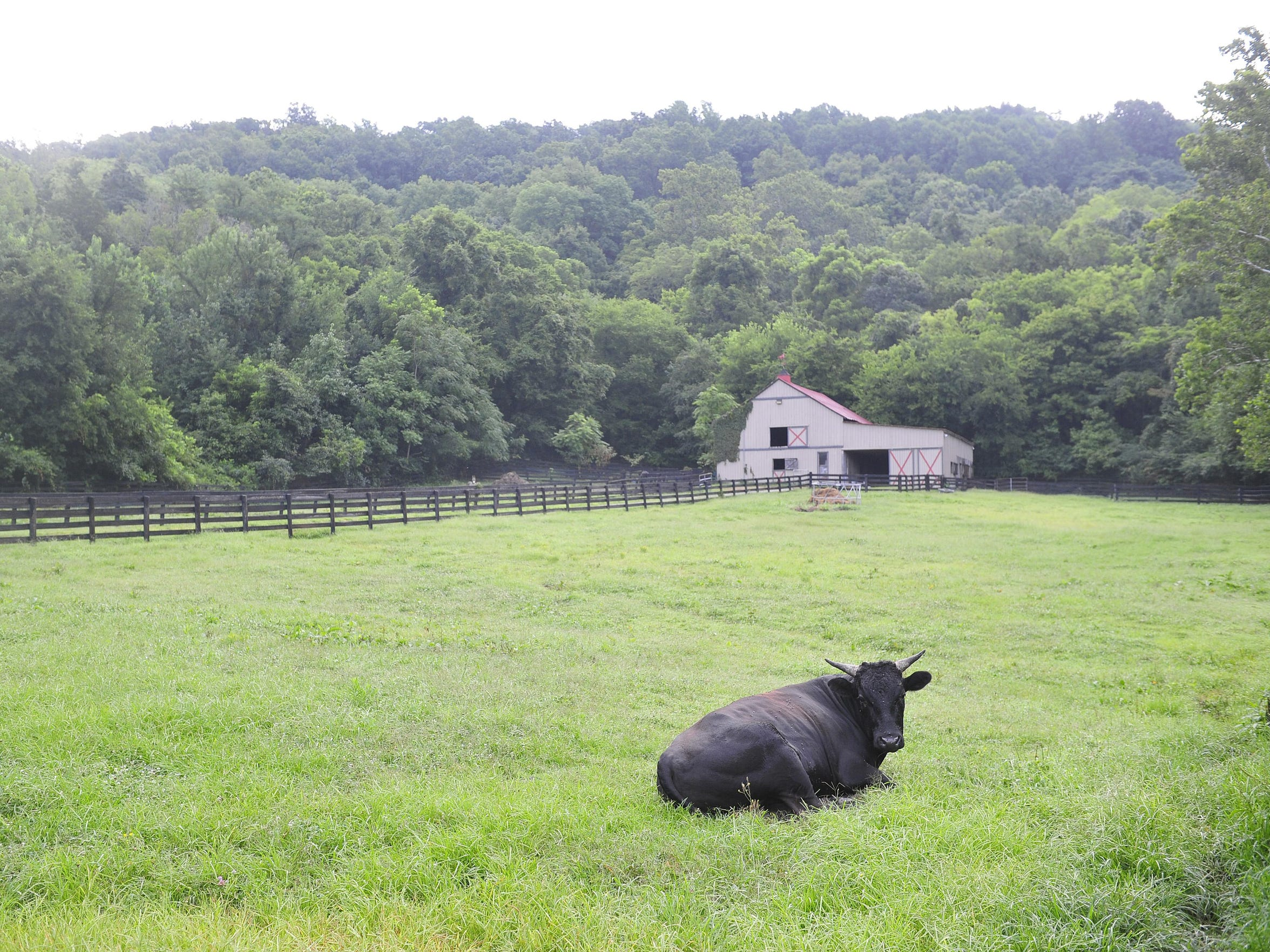 Bully Boy, a Wagyu bull, rests in a field at Spring Hollow farm in Franklin on July 23, 2015.