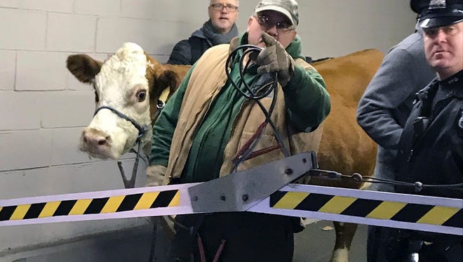 Stormy, the cow, is led out of a parking garage Thursday after its second escape from a Philadelphia church's live nativity scene.
