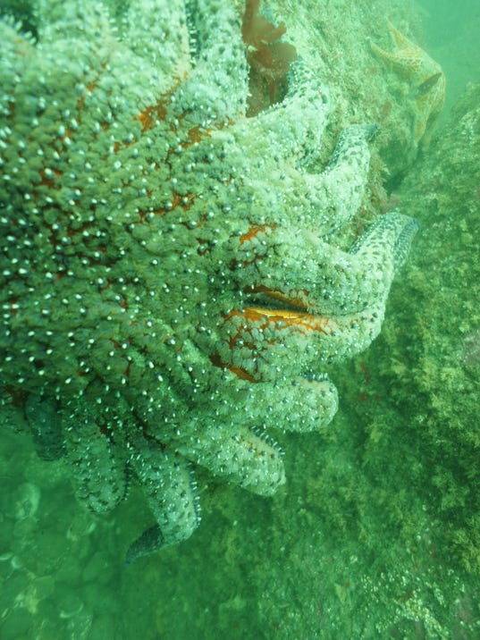 -Sunflower star exhibits lesion indicating the two affected arms are about t.jpg